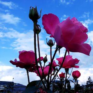 やっぱり薔薇がすき